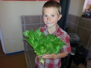 Volunteer Lettuce